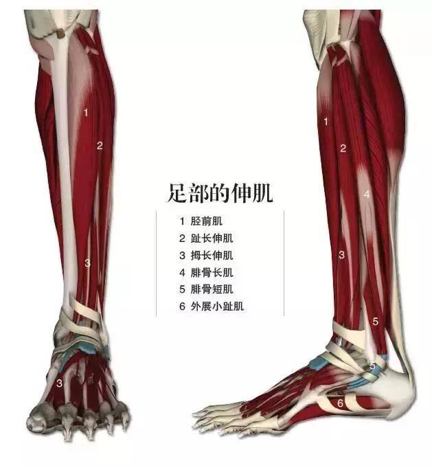 瘦腿大练练:肚子驼背总瘦不解剖还瘦腿?不如下来这几个动作!瑜伽针小腿的原理图片