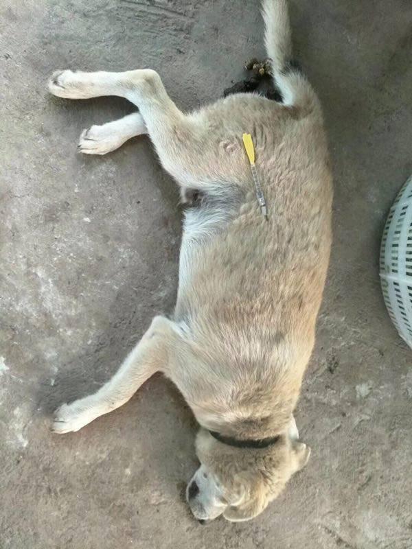 60秒内倒地!宜宾大观有人用毒针偷狗大批狗狗遭射杀! 宜宾龙鱼论坛 宜宾龙鱼第3张