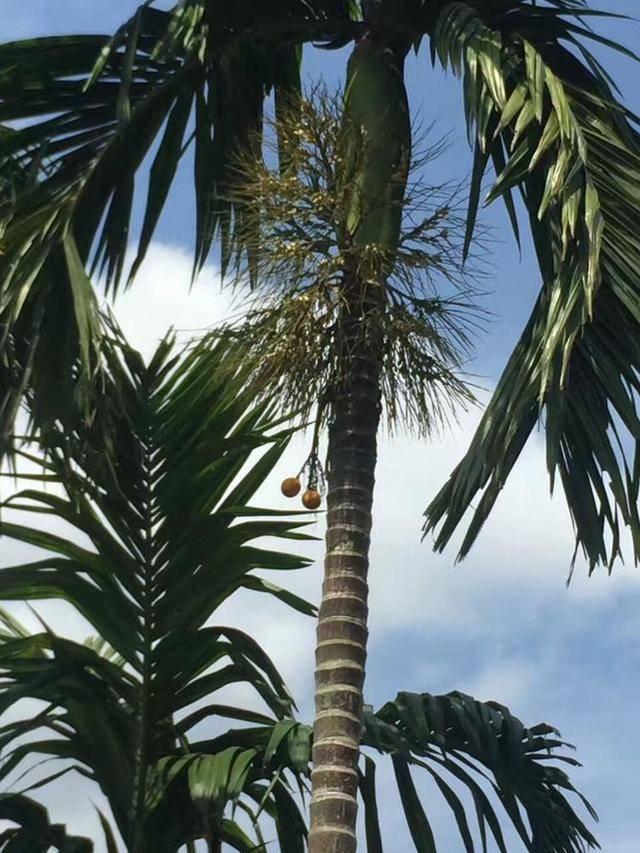 红沙岛上的槟榔树结了满满的槟榔果……高高的树上挂槟榔就是这样的