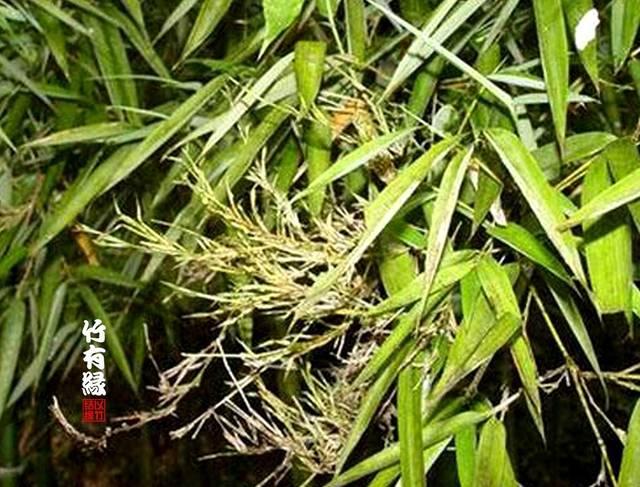 红褐色舌状斑后扩展 2 受害竹林常成片枯死,枯死的竹子节间有水,色黄