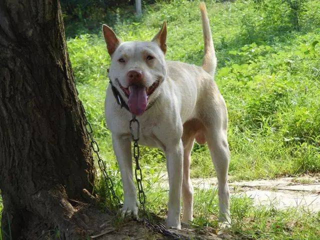 世界级猎犬,中华名猎贵州下司犬,也叫
