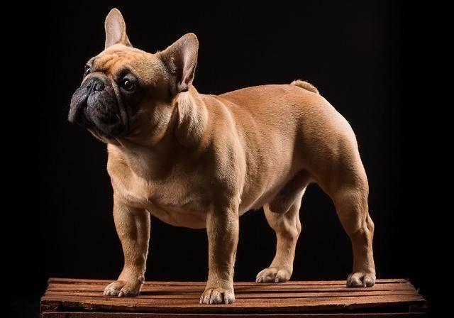 短小精悍法国斗牛犬-优秀的家庭伴侣犬