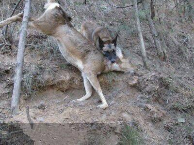 马犬会打猎?其实有个重要的问题你可能还不知道