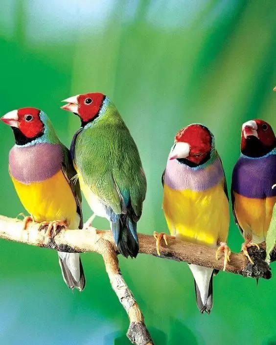 世界仅存两千只的七彩神鸟,太美了,以后很难看到!