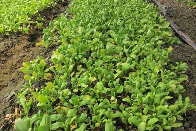 最易丧失发芽力的葱韭类蔬菜种子须用当年新种子; 豆类,胡萝卜,甘蓝