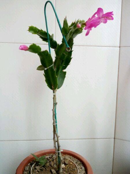 一棵叶仙嫁接3种蟹爪兰,三步就能成活,就是造型有点怪图片