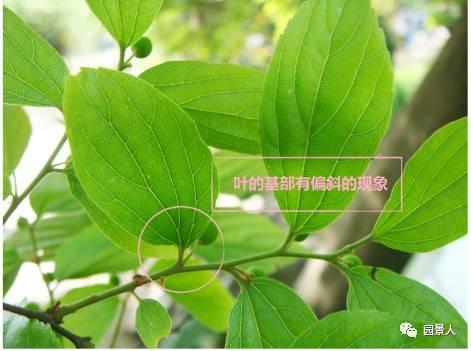 朴树叶面光滑,而榉树叶面粗糙.图片