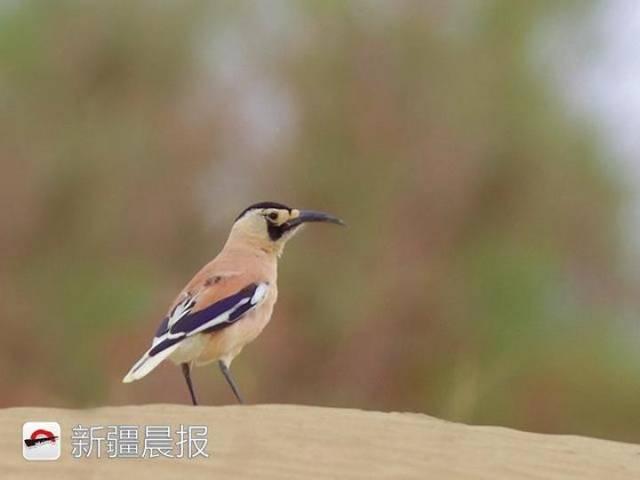 迁徙季近300种候鸟将路过新疆盘点新疆最佳候鸟观赏地 乌鲁木齐龙鱼论坛 乌鲁木齐龙鱼第17张