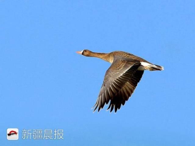 迁徙季近300种候鸟将路过新疆盘点新疆最佳候鸟观赏地 乌鲁木齐龙鱼论坛 乌鲁木齐龙鱼第9张