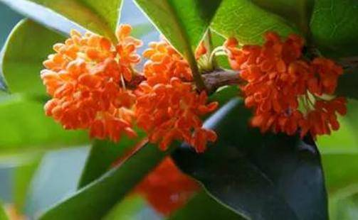红桂花好还是黄桂花好 桂花品种有哪些图片