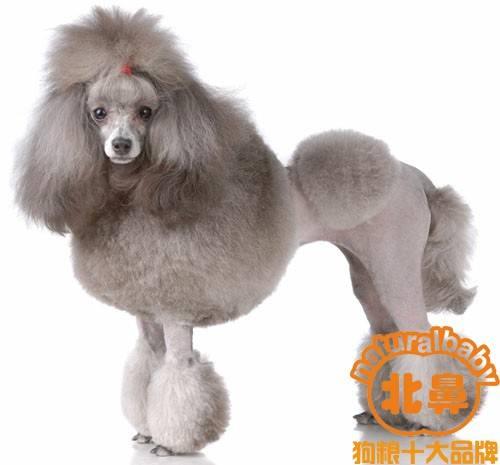 【北鼻天然狗粮】分享,泰迪犬好养吗/纯种贵宾/贵宾犬