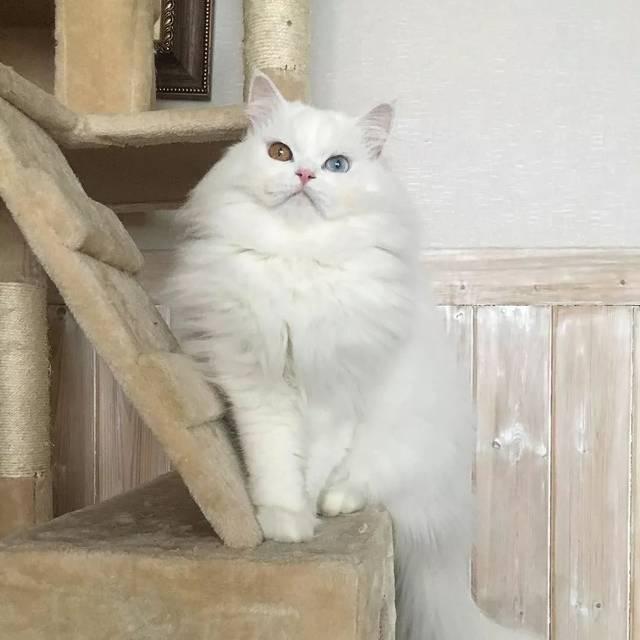 听力都是聋或者非常差的状况 wuli仙气蓝眼和异瞳白猫 原来也是上辈子