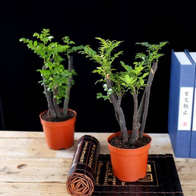 小叶紫檀盆景 ¥15.60 购买图片