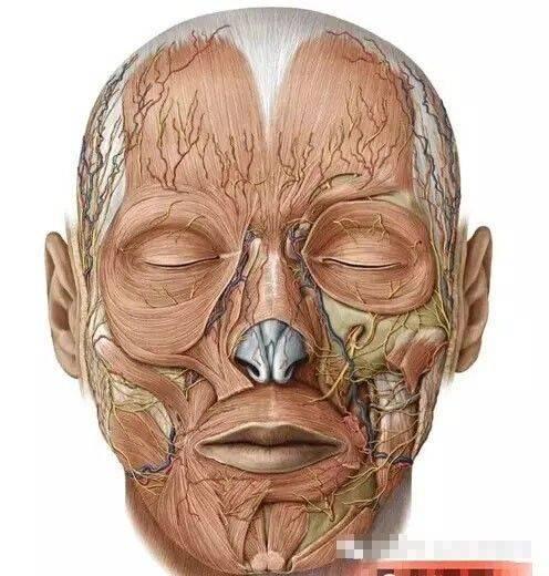 【微整干货】颌面部高清血管解剖图谱图片
