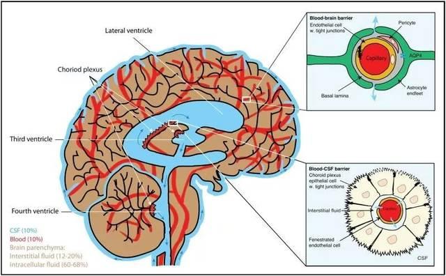 小鼠神经系统 手绘图