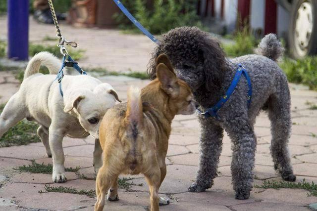 女人与公狗做爱什么感觉_狗狗为什么打架?狗爸狗妈要知道!