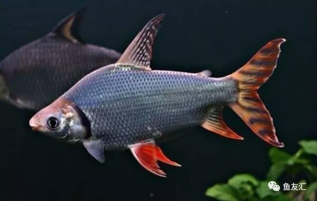 抛开19种鱼的大混养不说那块2米大沉就够帅一脸 长沙观赏鱼 长沙龙鱼第11张