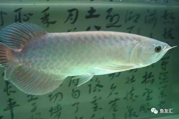 抛开19种鱼的大混养不说那块2米大沉就够帅一脸 长沙观赏鱼 长沙龙鱼第9张