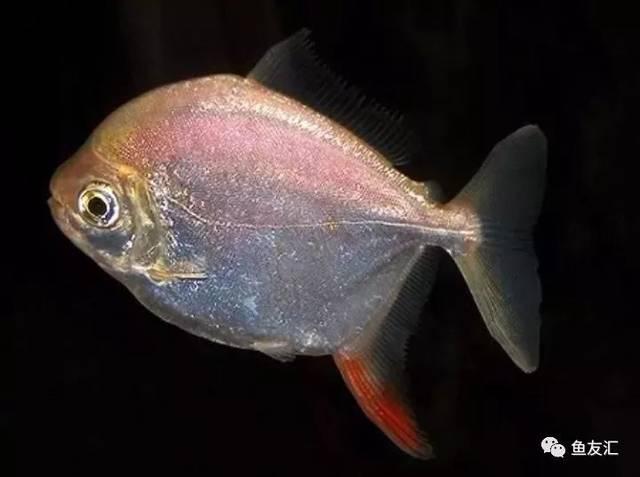 抛开19种鱼的大混养不说那块2米大沉就够帅一脸 长沙观赏鱼 长沙龙鱼第4张