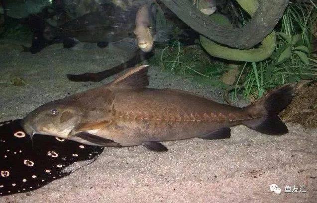 抛开19种鱼的大混养不说那块2米大沉就够帅一脸 长沙观赏鱼 长沙龙鱼第6张