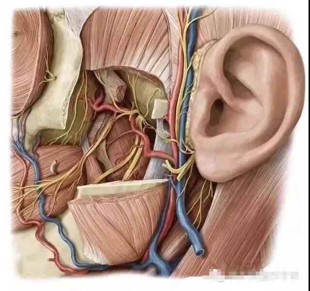 【微整干货】面部血管经脉分布,注射安全区域划分图片