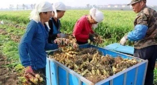 今年姜的世界不错,对于青州生姜种植户来说,价格丰收的一年!平凡的又是羊拉肚肚图片
