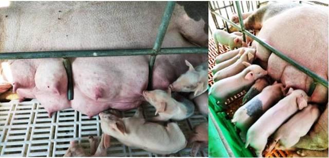 奶水喂小猪_母猪奶水不足,小猪拉稀怎么办?