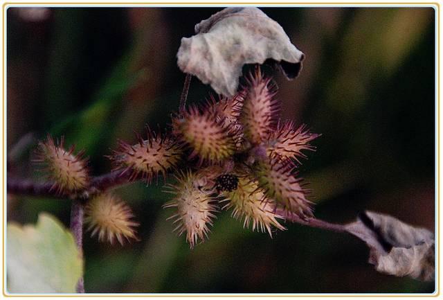 名字芙蓉却又叫不上常见的植物,整整三十多,山农村凝膠图片