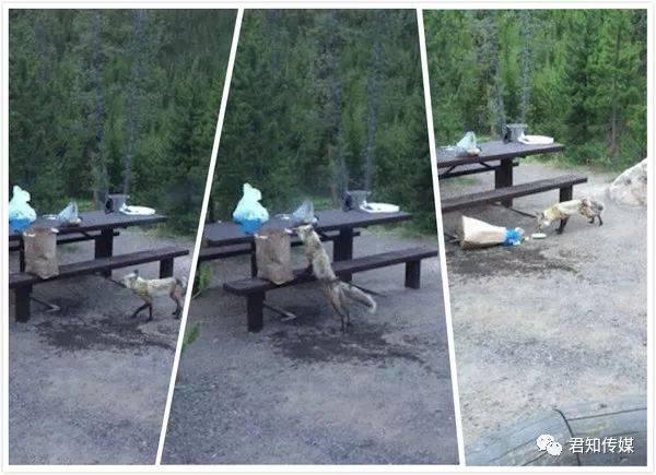 【国际新闻】黄石公园又上头条!四川游客在公园内吃火锅结果引来狼群