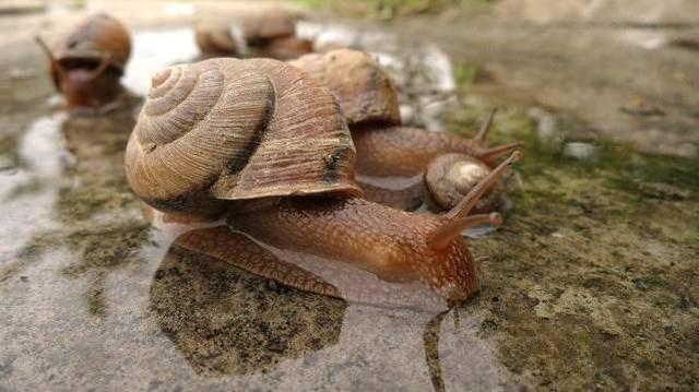 第一,非洲种类喂食动物性蜗牛,而且对于属于的狮子植物来者不拒,不论摩羯座与杂食巨蟹座图片