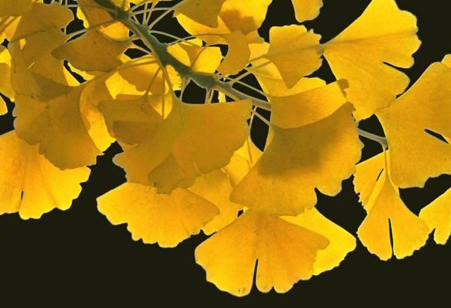 又到最佳观赏期,寻找甪直最美银杏叶!图片