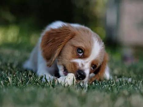 在幼犬,母犬的怀孕期,授乳期,除了供给均衡的营养食品外,还应多补充