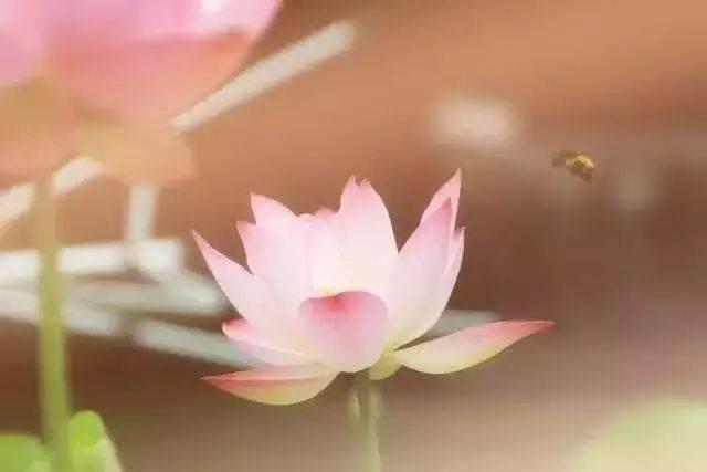 莲花与水的对话(让人静心开悟)
