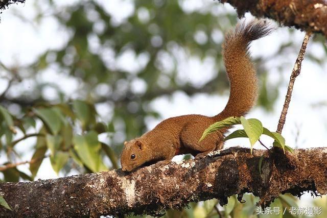 世界上最大的松鼠图片
