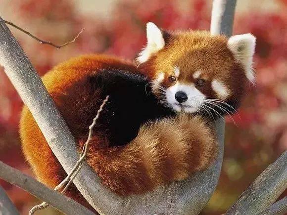 大熊猫和小熊猫都吃竹子 为啥只有一个成了国宝