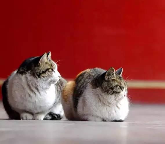 而且人家可不是普通的猫,是负责解决故宫鼠患的保安猫,不仅都实施了
