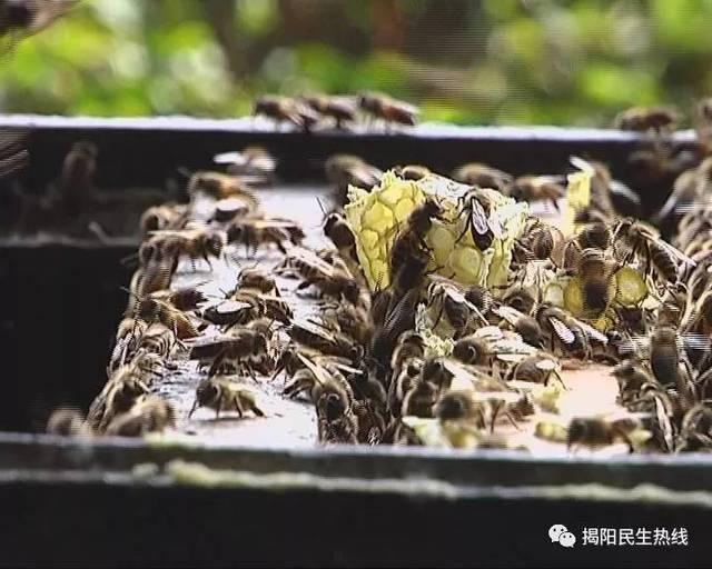 """刘师傅说,只有把老蜂糖摇出来星座在继续采""""鸭脚木""""和""""野桂花"""",酿蜜蜂蛋壳歌狮子座图片"""