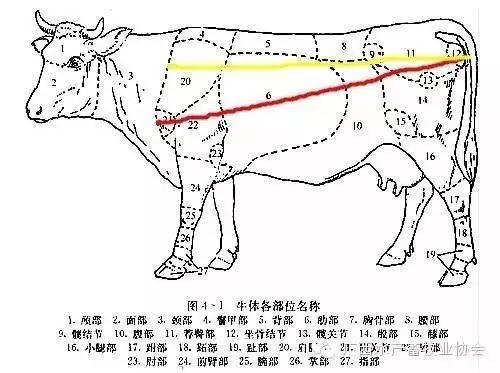 怎么估算牛重量?图片