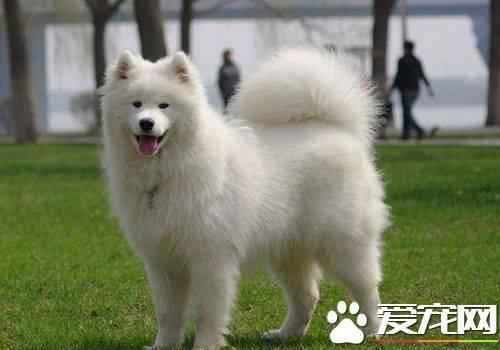 萨摩犬多大_萨摩耶犬能长到多大 标准身高在53到61厘米
