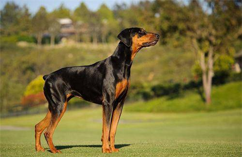 养宠知识:杜宾犬耳朵不竖立好吗,杜宾耳朵多久能立起来