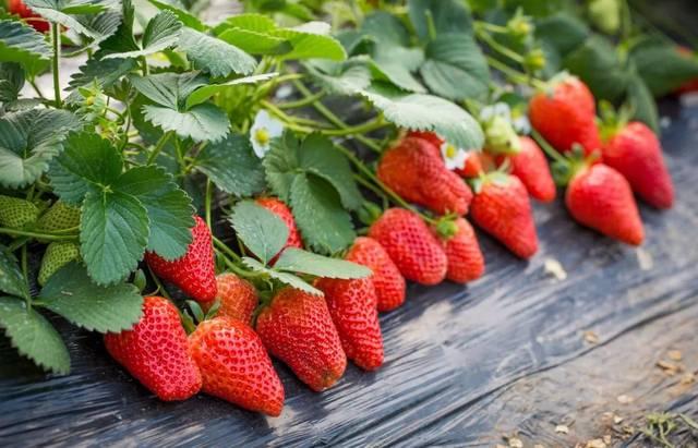 梦见草莓树摘草莓