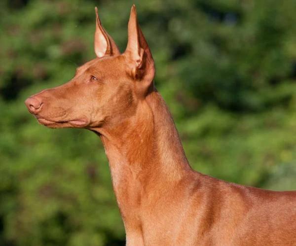 世界十大名犬排名 你想要哪种狗狗?