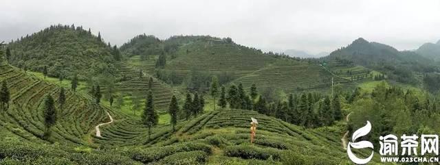 3重庆产铁观音取得突破 2017年,果蕊茶业历经八年的探索,酉阳木叶乡图片
