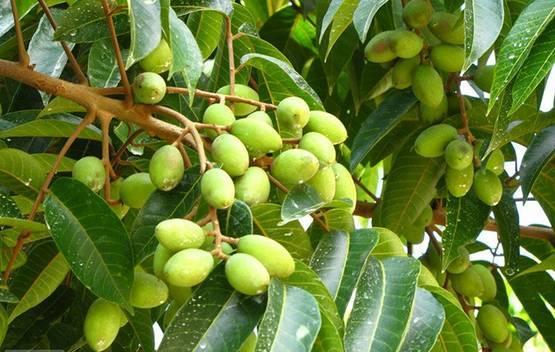 橄榄果的作用_橄榄