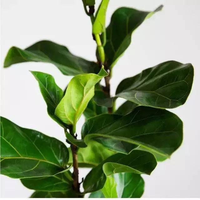 琴叶榕树形高大,身材苗条,叶子形似小提琴;几乎每一本北欧家居杂志图片