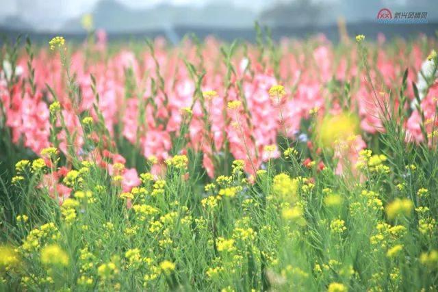 新兴太平惊现20亩剑兰花,美艳花海难得一见!免门票观看!