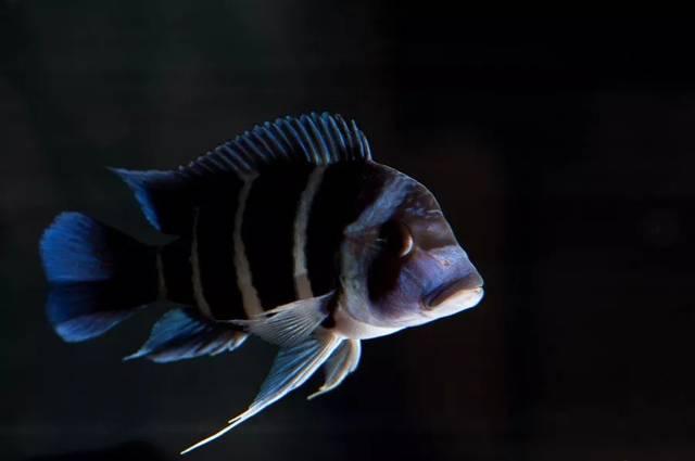 【每日一鱼】优雅而迷人的萨伊蓝六间!