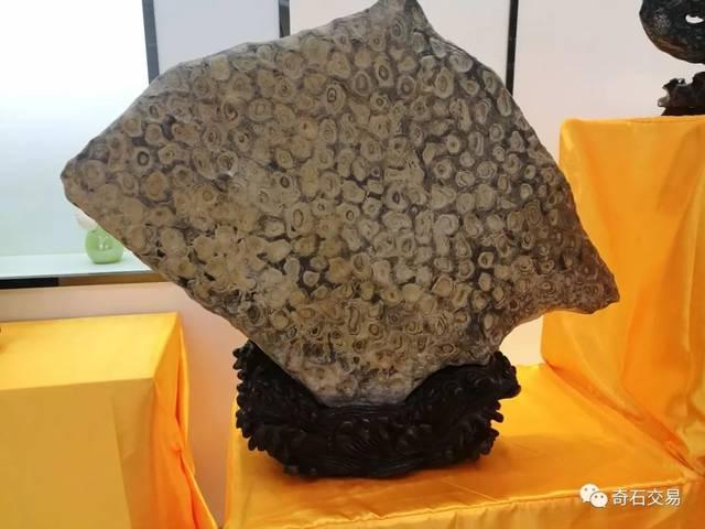 金钱鱼,石质:金钱石