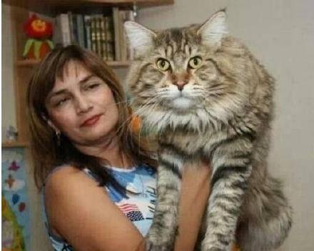 缅因猫因为产于美国缅因州而得名,是北美洲历史最悠久的长毛猫品种