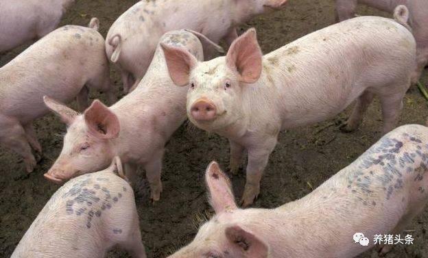 猪客网赵辉:如何治疗猪蹄叶炎以及猪得了蹄叶炎会传染